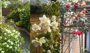 梅花ウツギ・つるバラ・紫陽花